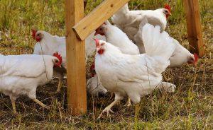 élevage poule à domicile