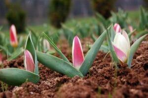 entretenir tulipes