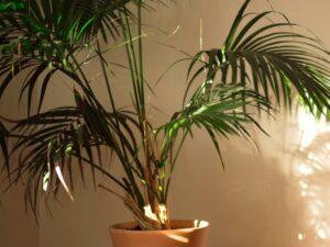 entretien palmier hiver