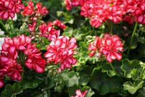 géranium planter jardin