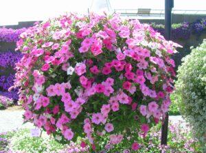 jardin fleurs pétunias