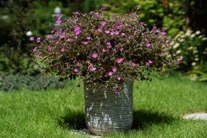jardin pélargoniums géraniums