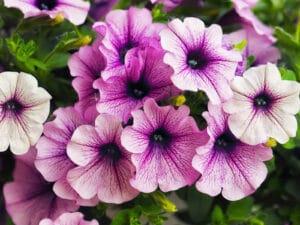 petunia entretien jardin