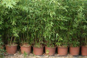 planter bambou