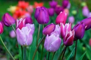 planter tulipes