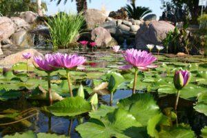 plantes aquatiques jardin