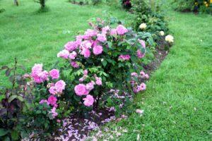 techniques plantation rosier